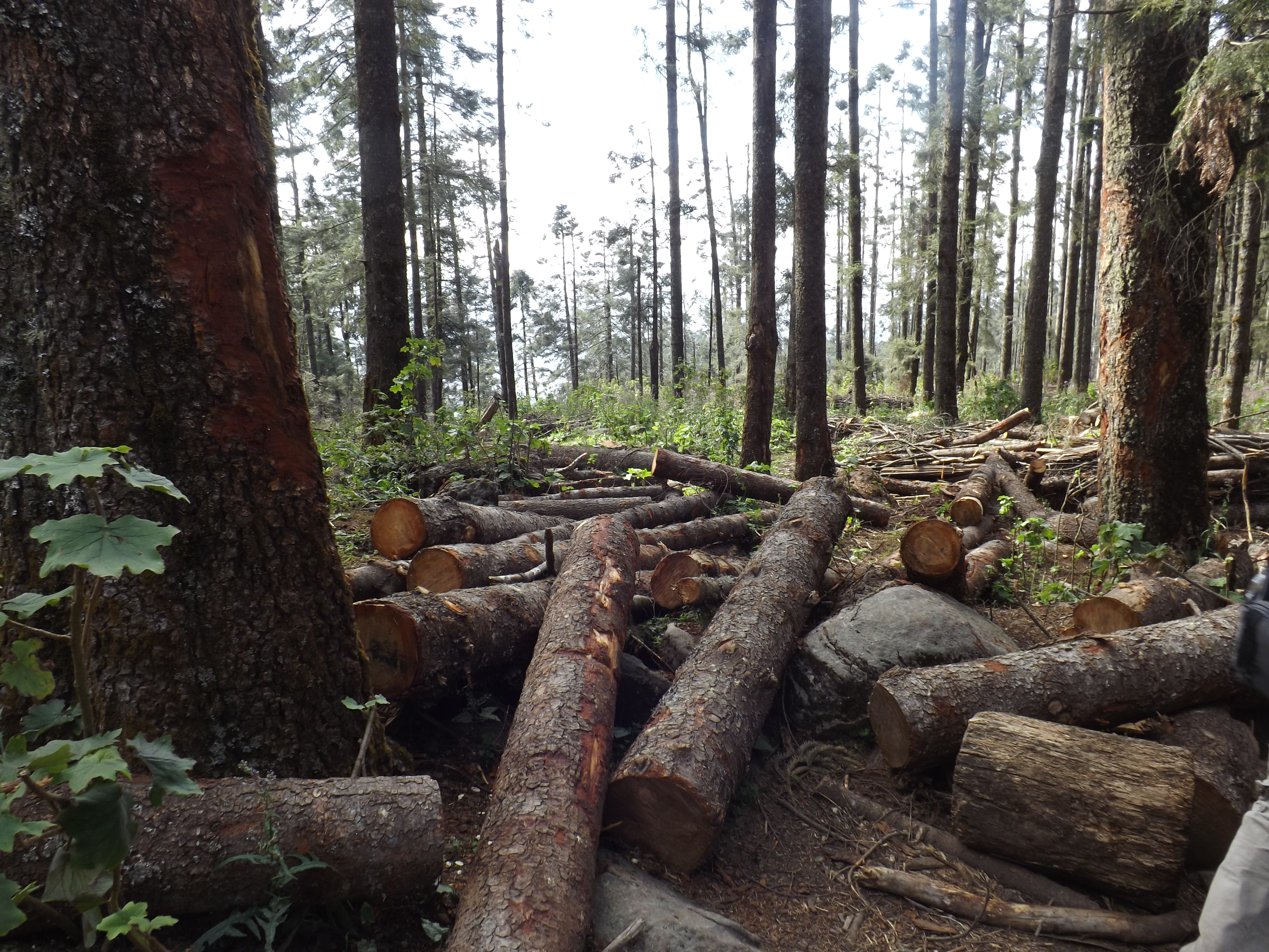Image result for oyamel fir branch
