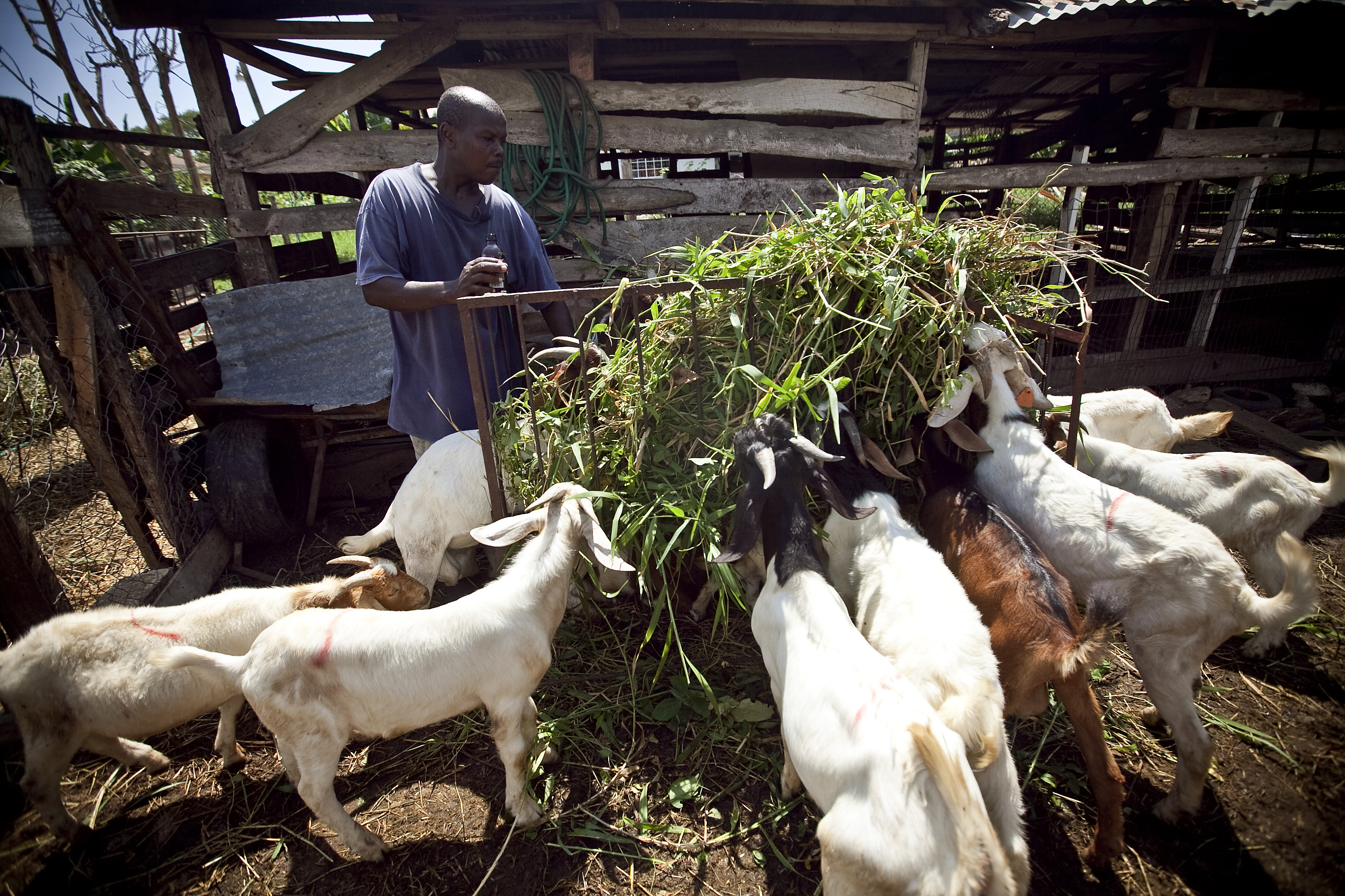 Jamaica: Building a Goat Farming Industry | Pulitzer Center