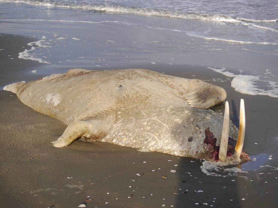 This walrus washed ashore on the Seward Peninsula in the summer of 2017. It was one of more than three dozen walrus carcasses found that summer. Some showed evidence of a toxin from an algae that blooms as the water warms. Image courtesy of U.S. Coast Guard. United States, 2019.