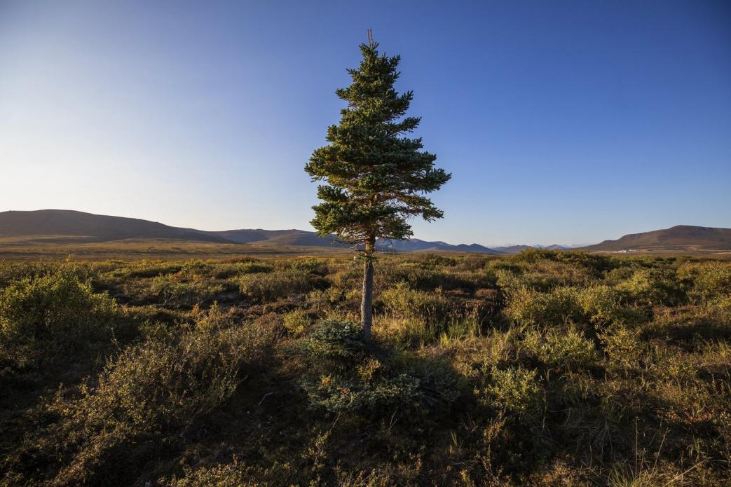 As permafrost thaws in Northwest Alaska, a lone spruce tree finds room to grow in a stretch of tundra outside Nome. Image by Steve Ringman. United States, 2019.