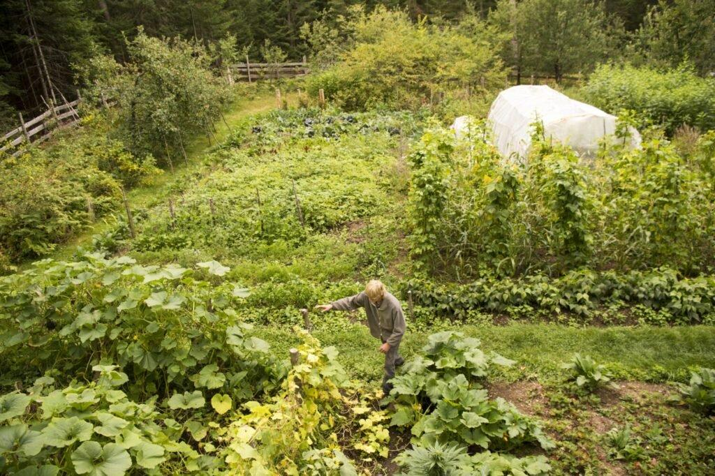 Duane Hanson checks on his crops at his homestead in T5 R7 in the Unorganized Territories on Sept. 17, 2019. Hanson and Kwan provide almost all of their food from the garden or hunting. Image by Michael G. Seamans. United States, 2019.