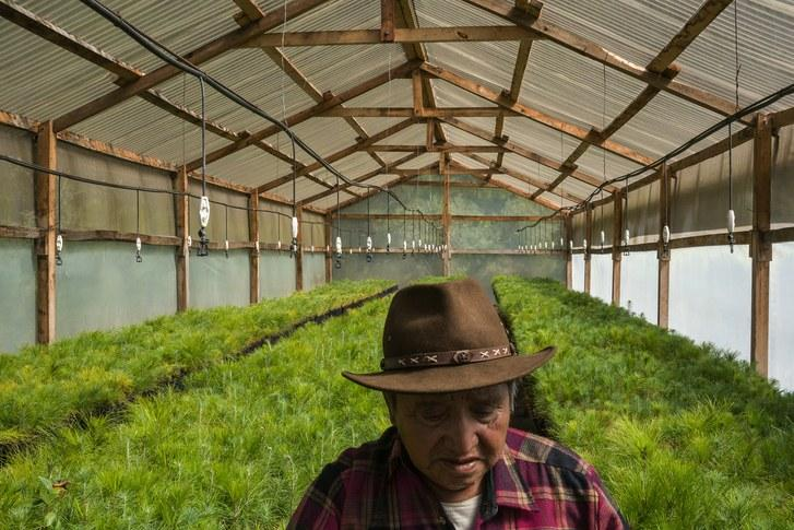 Agustín Par, seventy-five, is in charge of a greenhouse of tree saplings outside the city of Totonicapán. Image by Mauricio Lima. Guatemala, 2019.