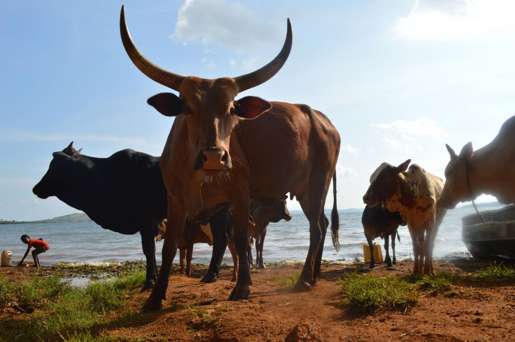 Cows coming in from the storm at Nakalanga village. Finding grazing land for their cattle is one of the farmers' biggest challenges. Image by Annika McGinnis. Uganda, 2019.