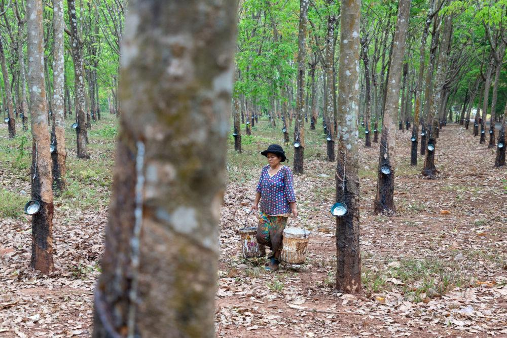 A worker at the Chup Rubber Plantation in Kampong Cham, Cambodia. Cambodia exported 282,071 tons of rubber last year, mainly to China, Singapore, and Malaysia, bringing in earnings of $377 million. Image by Sean Gallagher. Cambodia, 2020.