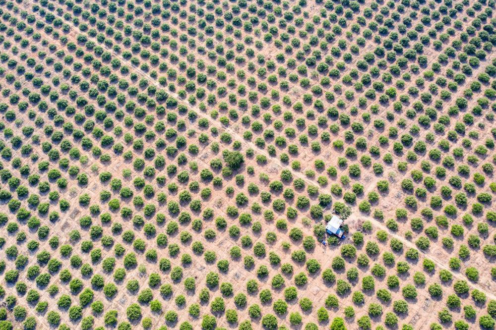 A cashew nut plantation in the Beng Per Wildlife Sanctuary. Most of the sanctuary's land has been sold by the government for agricultural concessions. Image by Sean Gallagher. Cambodia, 2020.<br />