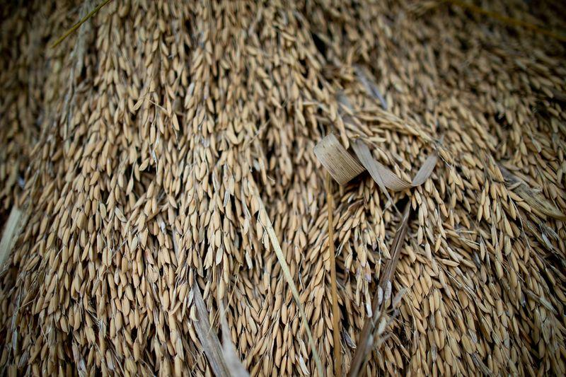 Rice harvested by Elias da Silva Lima, 63, dries in a pile on land he farms in the Virola Jatoba settlement in Anapu. Image by Spenser Heaps. Brazil, 2019.