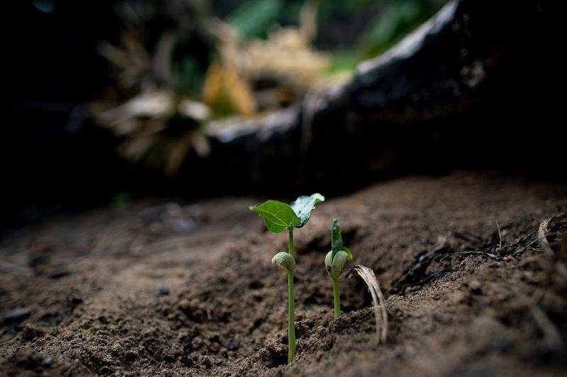 Beans planted by Elias da Silva Lima, 63, sprout from the soil on land he farms in the Virola Jatoba settlement in Anapu. Image by Spenser Heaps. Brazil, 2019.