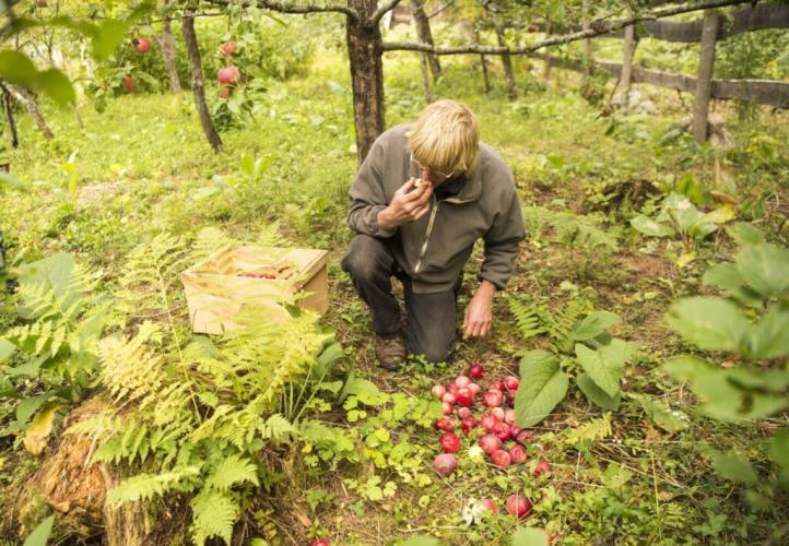 Duane Hanson enjoys a quick snack as harvests apples from his orchard at his homestead in T5 R7 in the Unorganized Territories on Sept. 17, 2019. Image by Michael G. Seamans. United States, 2019.