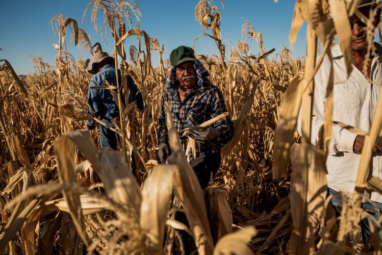 PINAL COUNTY, ARIZ. Pedro Delgado harvesting a cob of blue corn that grew without kernels at Ramona Farms last month. Image by Meridith Kohut. United States, 2020.