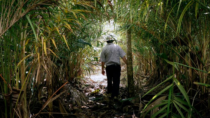 "Carlos Andretti disappears into the peach palms he planted as part of his ""agroforestry"" plan for restoring his property. Image by Sam Eaton. Brazil, 2018."