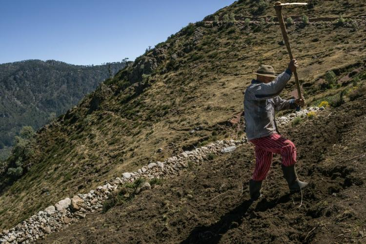 In a tiny hamlet called Nuevo Belén, Federico Matías, a potato farmer, has lost thousands of quetzales on each harvest. His neighbor prepares the land for the coming crop. Image by Mauricio Lima. Guatemala, 2019.