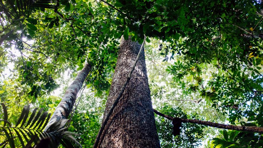 A Brazil nut tree rises high into the canopy in the forest. Image by Sam Eaton. Brazil, 2018.