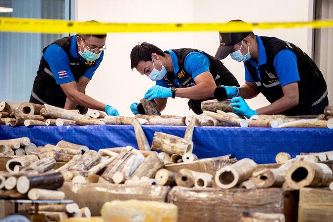 Officials in Thailand inspecting pieces of ivory at the airport in Bangkok on March 7. Thailand has seized more than 600 pounds of ivory from Malawi on flights into the city's main airport. Image by Roberto Schmidt/AFP/Getty Images. Thailand, 2017.