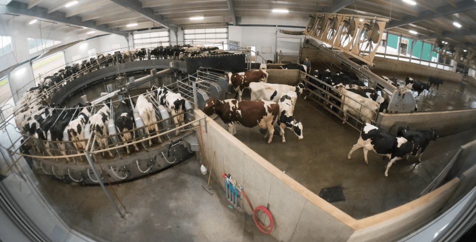 Cows exit the milking carousel on the DeBeer family farm in Mount Elgin, Ontario. It takes about 12 minutes to milk each cow. The family milks about 480 Holsteins. Image by Mark Hoffman. Canada, 2019.