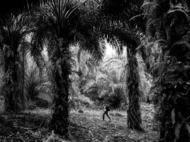 Palm oil is a billion-dollar industry that significantly contributes to the economy of Indonesia, which is a major global supplier and has plantations that stretch for millions of hectares. In this picture, farmer Puryito carries a palm fruit on a plantation in Kandis. Puryito's whole family works on the plantations. Image by Xyza Cruz Bacani. Indonesia, 2018.