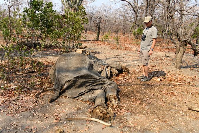 Otto Werdmuller Von Elgg next to the remains of an elephant bull killed by poachers at Liwonde National Park. Image by Rachel Nuwer. Malawi, 2016.